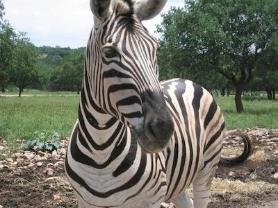 Zebra_face.jpg