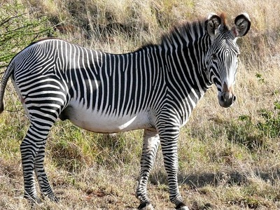 Equus_grevyi_1.jpg