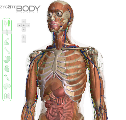 google open sources zygote 3d human body viewer - open source insider, Muscles