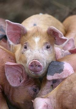 Pigs_highres.jpg