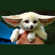 baby-fennec-fox.jpg