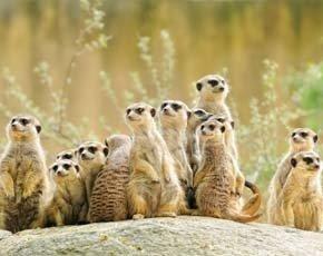 White space trials bring free meerkat videos to wider audience