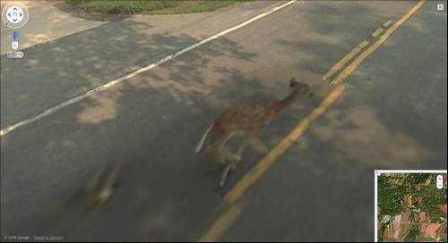 Get out of the way Deer gets hit by Google Street View car