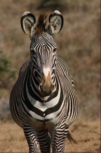 Saving the zebra in Kenya