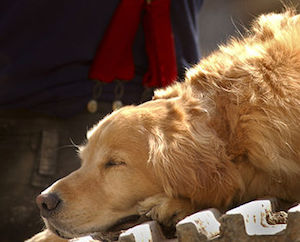 390px-US_Navy_010915-N-3995K-014_A_tired_search_dog_finds_time_to_rest_as_rescue_efforts_at_the_World_Trade_Center_in_New_York_City_continue_just_a_few_feet_away.jpg