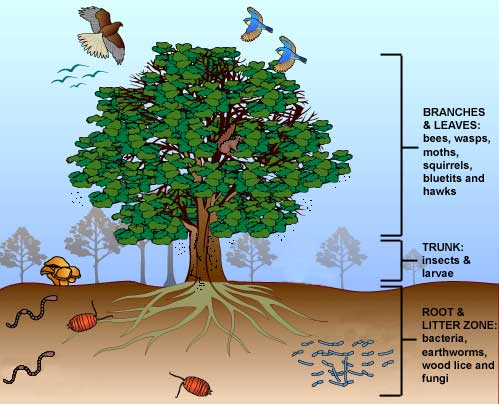 Thumbnail image for Oak Tree Ecosystem.jpg