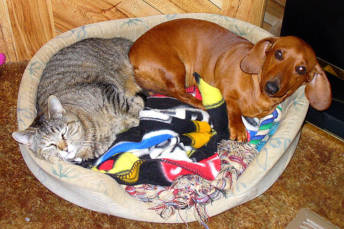 Cat and dog in sleeping nest together.