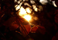 artistic_backlit_autumn_leaves-600x412