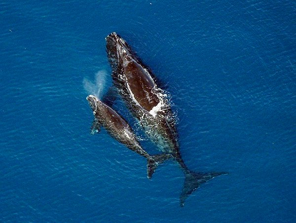 Right whales ; Source: NOAA