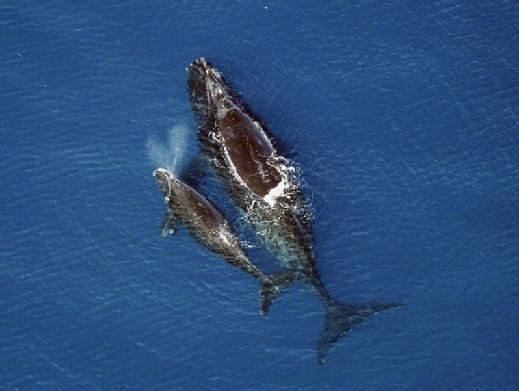 NOAA right whales mobile Programming contest taps analytics to mark endangered whales
